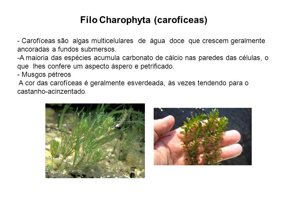Filo Charophyta (carofíceas)