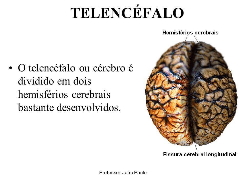 TELENCÉFALO O telencéfalo ou cérebro é dividido em dois hemisférios cerebrais bastante desenvolvidos.