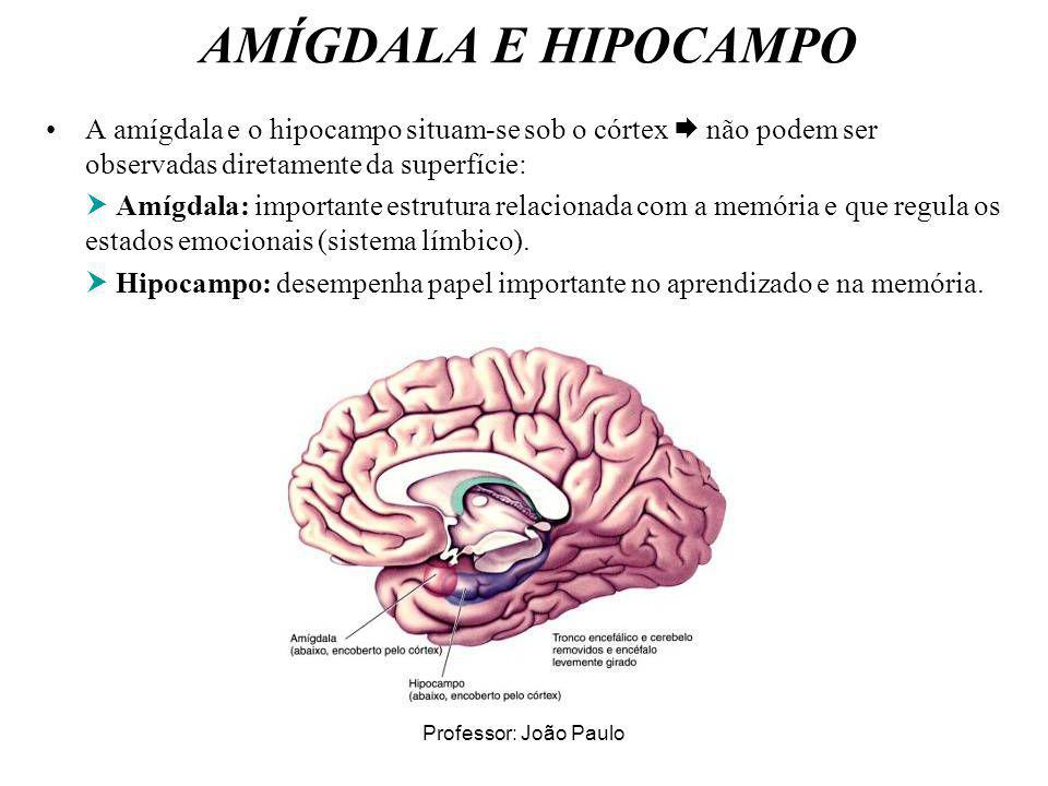 AMÍGDALA E HIPOCAMPO A amígdala e o hipocampo situam-se sob o córtex  não podem ser observadas diretamente da superfície: