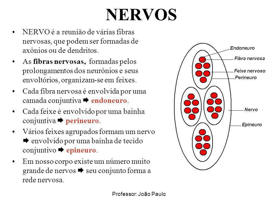 NERVOS NERVO é a reunião de várias fibras nervosas, que podem ser formadas de axônios ou de dendritos.