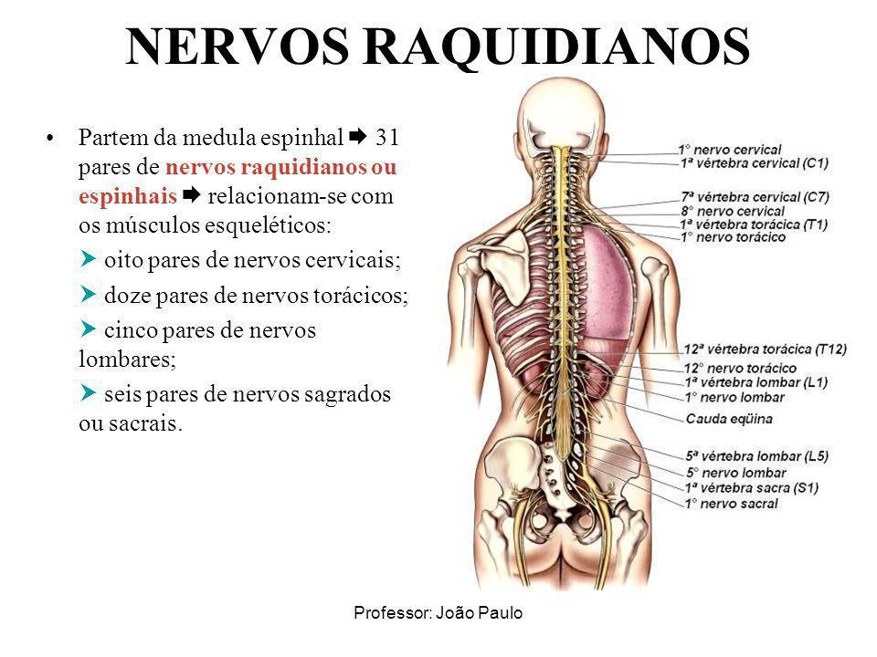 NERVOS RAQUIDIANOS Partem da medula espinhal  31 pares de nervos raquidianos ou espinhais  relacionam-se com os músculos esqueléticos: