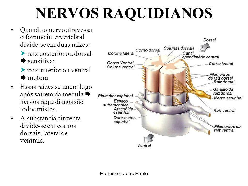 NERVOS RAQUIDIANOS Quando o nervo atravessa o forame intervertebral divide-se em duas raízes:  raiz posterior ou dorsal  sensitiva;