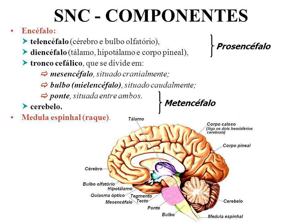 SNC - COMPONENTES Encéfalo:  telencéfalo (cérebro e bulbo olfatório),