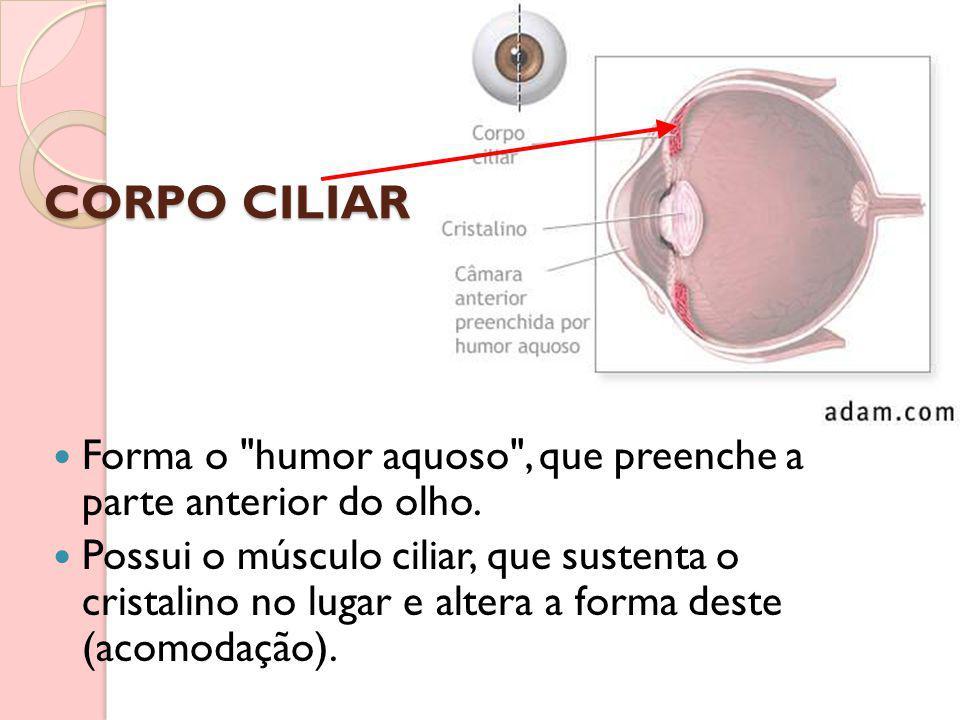 CORPO CILIAR Forma o humor aquoso , que preenche a parte anterior do olho.