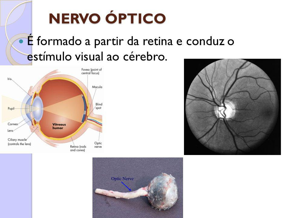 NERVO ÓPTICO É formado a partir da retina e conduz o estímulo visual ao cérebro.