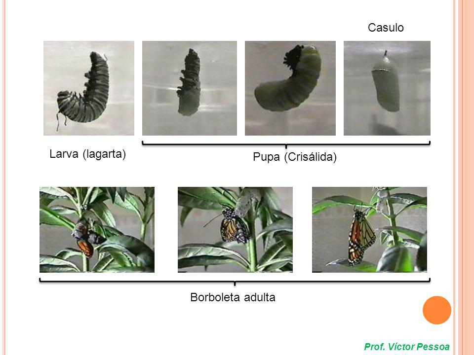 Casulo Larva (lagarta) Pupa (Crisálida) Borboleta adulta