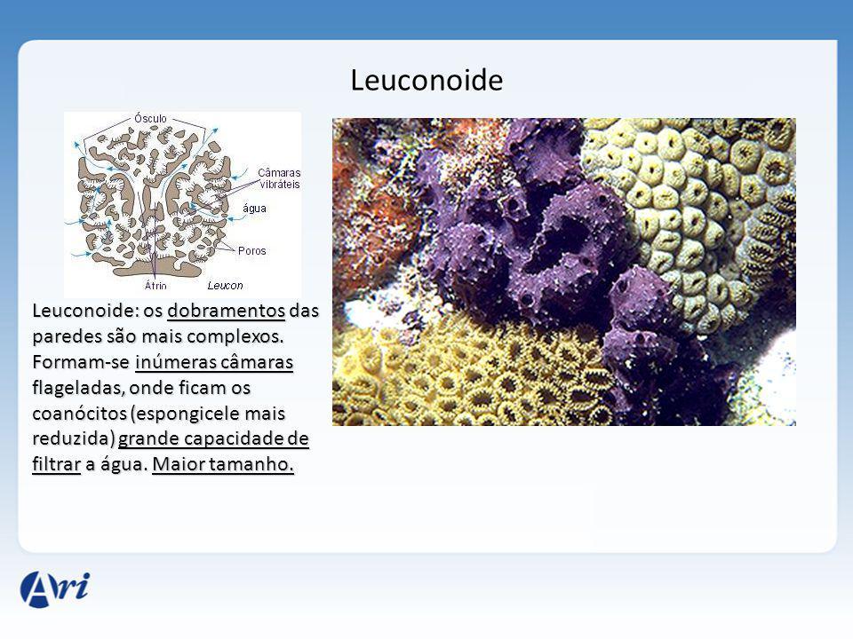 Leuconoide