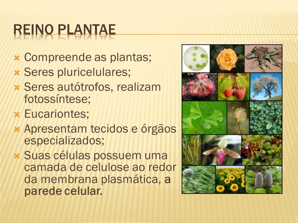 Reino plantae Compreende as plantas; Seres pluricelulares;