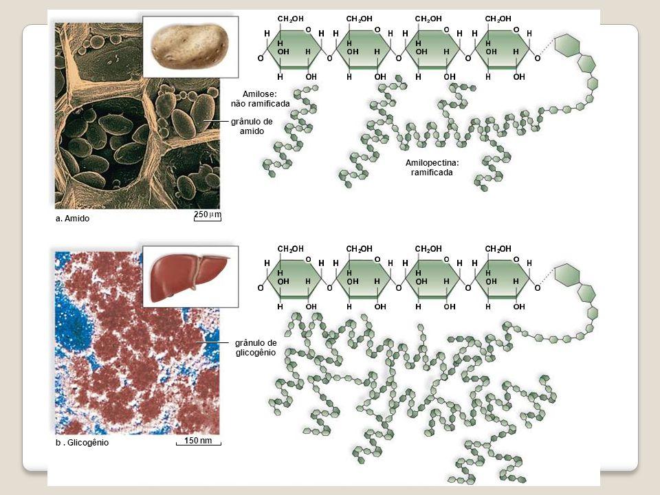 Amilose: não ramificada. grânulo de amido. Amilopectina: ramificada. a. Amido. 250 m. grânulo de glicogênio.