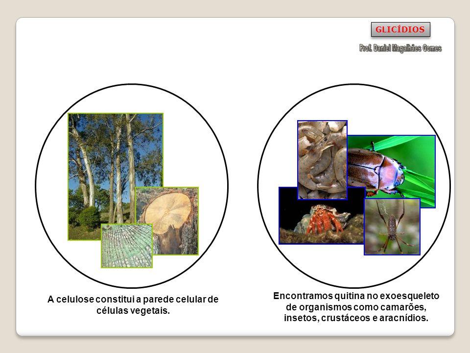 A celulose constitui a parede celular de células vegetais.