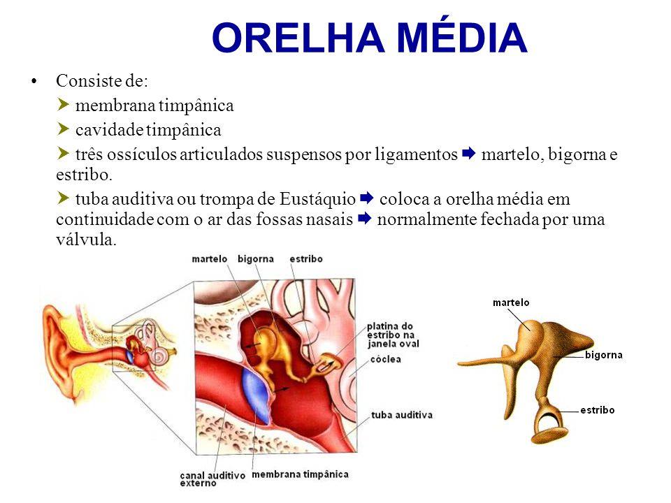 ORELHA MÉDIA Consiste de:  membrana timpânica  cavidade timpânica