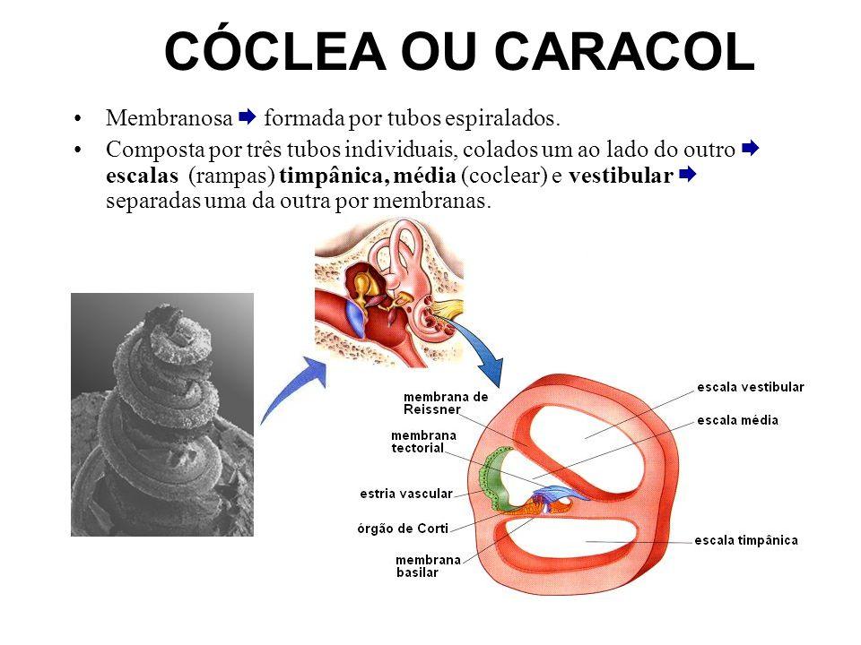 CÓCLEA OU CARACOL Membranosa  formada por tubos espiralados.