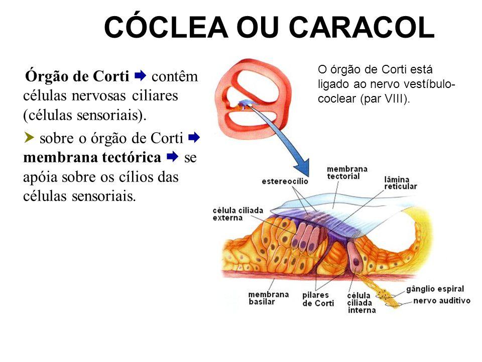 CÓCLEA OU CARACOL O órgão de Corti está ligado ao nervo vestíbulo-coclear (par VIII).