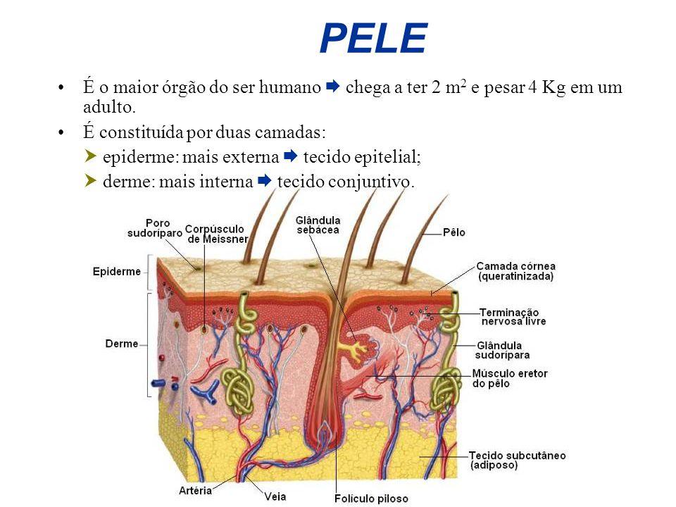 PELE É o maior órgão do ser humano  chega a ter 2 m2 e pesar 4 Kg em um adulto. É constituída por duas camadas: