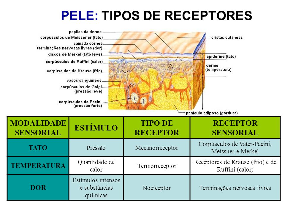 PELE: TIPOS DE RECEPTORES