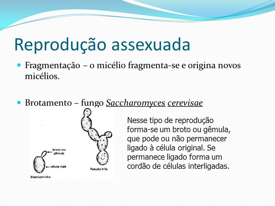 Reprodução assexuada Fragmentação – o micélio fragmenta-se e origina novos micélios. Brotamento – fungo Saccharomyces cerevisae.