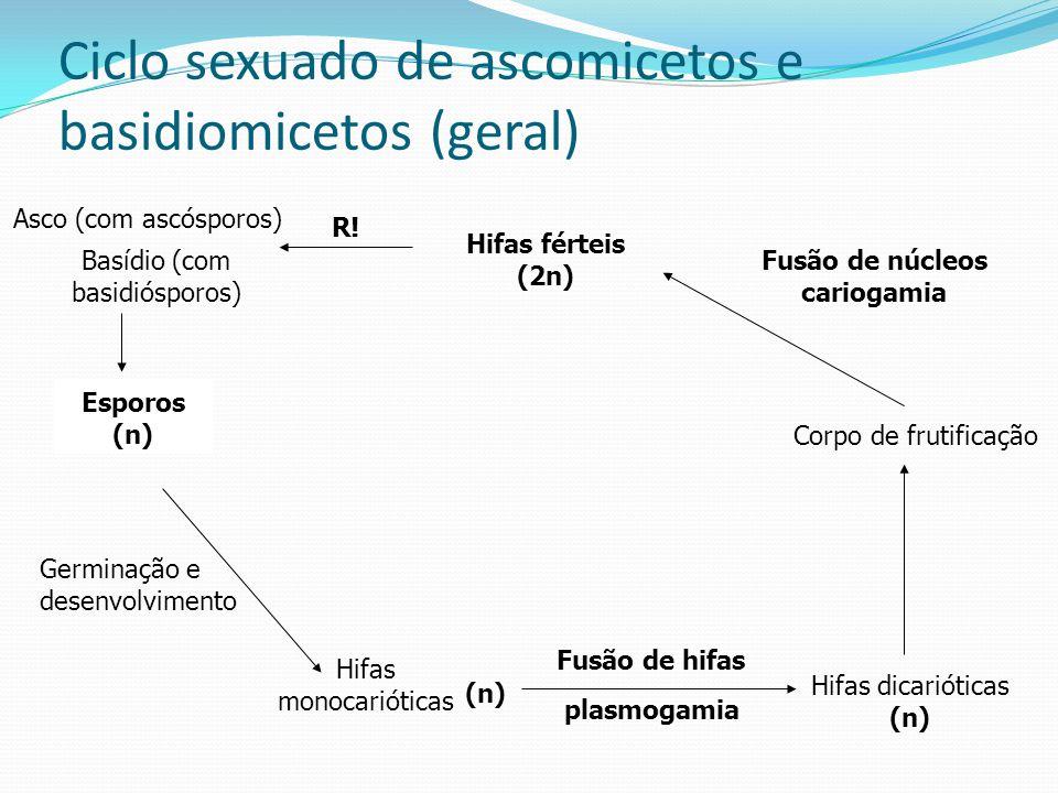 Ciclo sexuado de ascomicetos e basidiomicetos (geral)