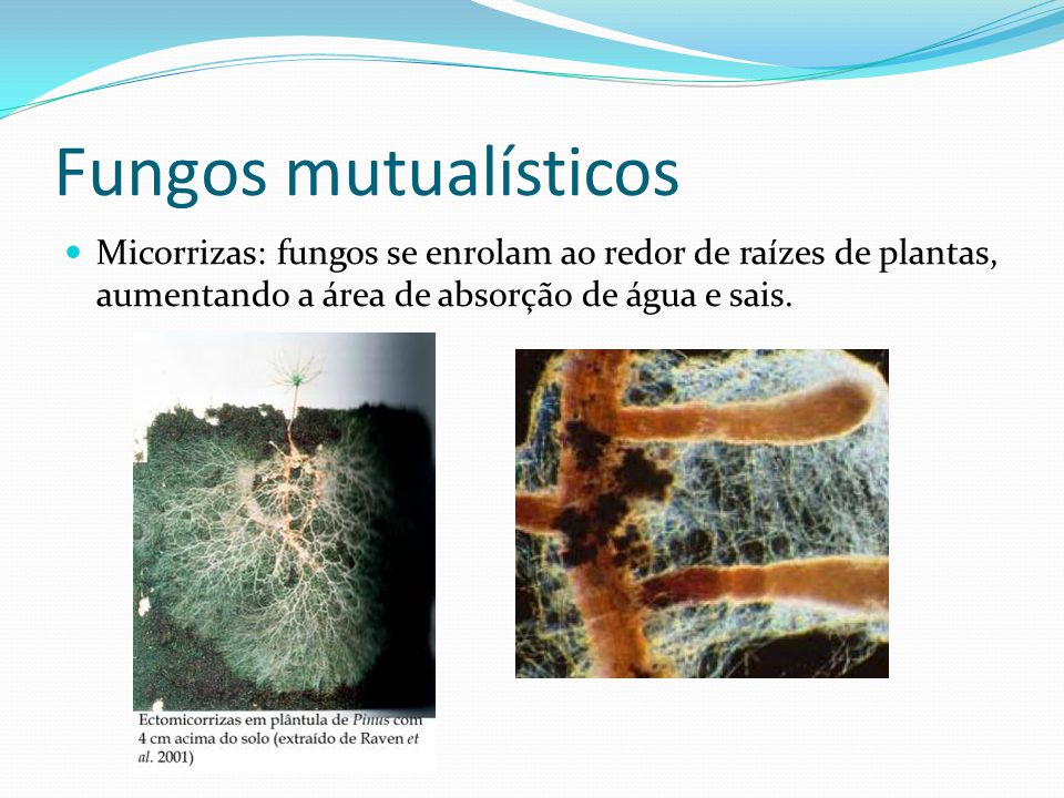 Fungos mutualísticos Micorrizas: fungos se enrolam ao redor de raízes de plantas, aumentando a área de absorção de água e sais.