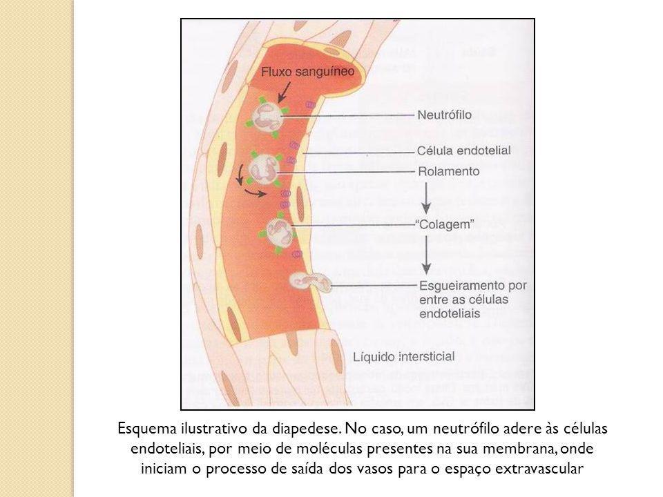 Esquema ilustrativo da diapedese