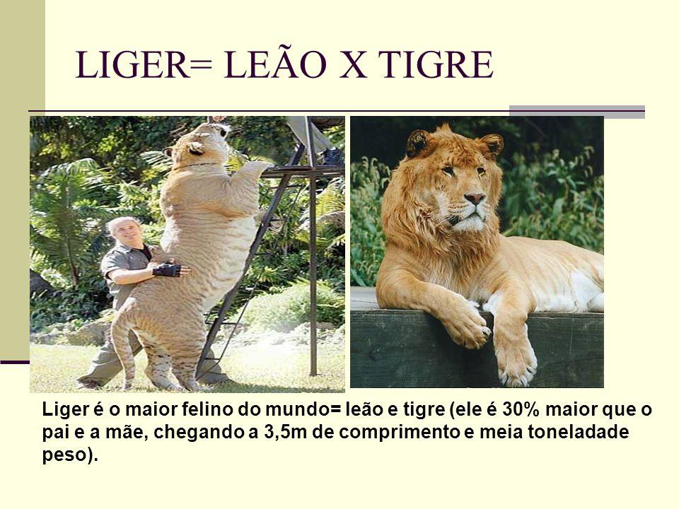 LIGER= LEÃO X TIGRE