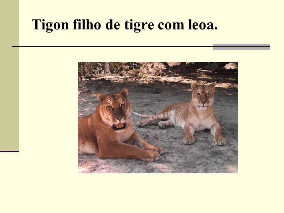 Tigon filho de tigre com leoa.