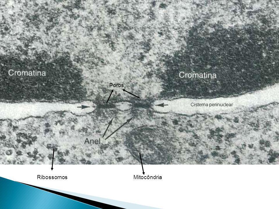 Poros Cisterna perinuclear Ribossomos Mitocôndria