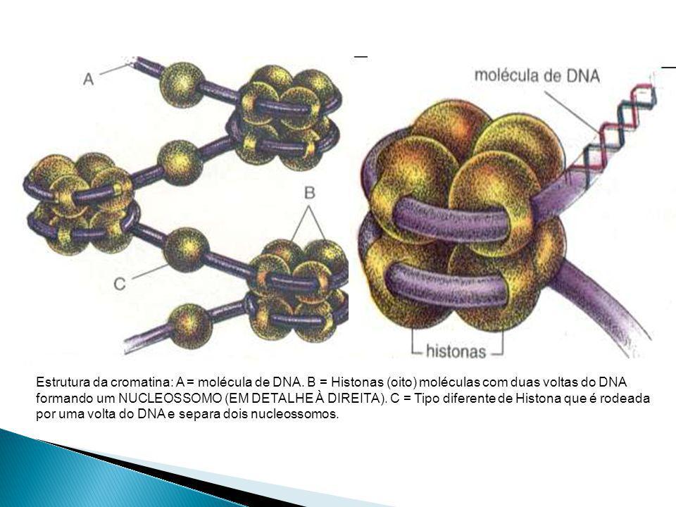 Estrutura da cromatina: A = molécula de DNA