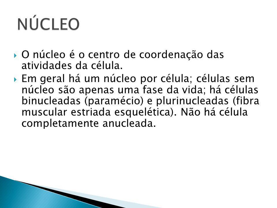 O núcleo é o centro de coordenação das atividades da célula.