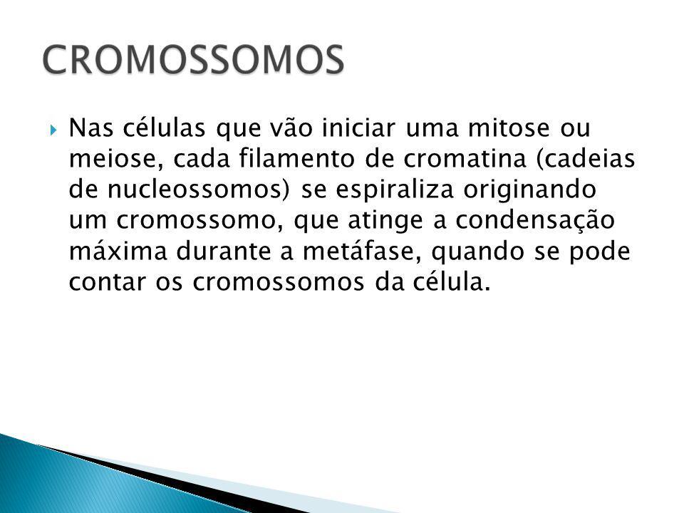 Nas células que vão iniciar uma mitose ou meiose, cada filamento de cromatina (cadeias de nucleossomos) se espiraliza originando um cromossomo, que atinge a condensação máxima durante a metáfase, quando se pode contar os cromossomos da célula.