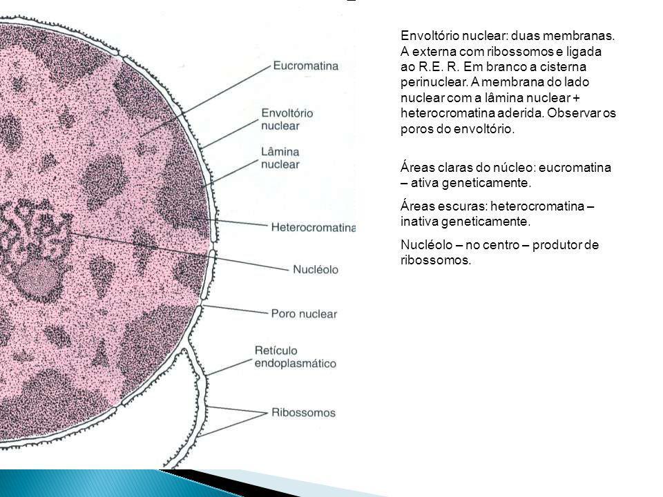 Envoltório nuclear: duas membranas