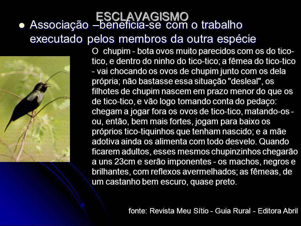 ESCLAVAGISMO Associação –beneficia-se com o trabalho executado pelos membros da outra espécie.