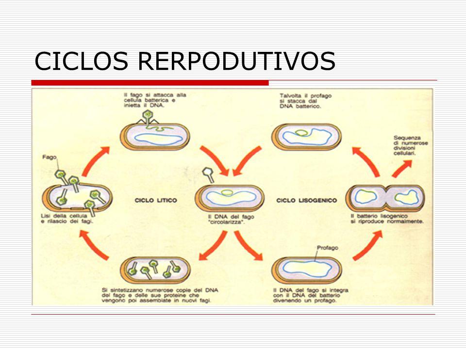 CICLOS RERPODUTIVOS