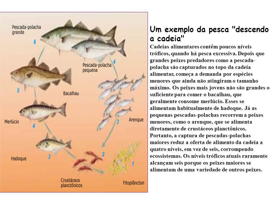 Um exemplo da pesca descendo a cadeia Cadeias alimentares contêm poucos níveis tróficos, quando há pesca excessiva.