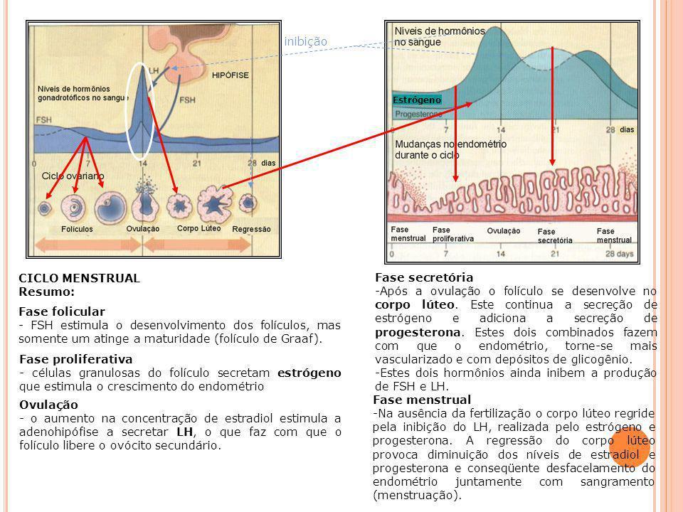 Estes dois hormônios ainda inibem a produção de FSH e LH.