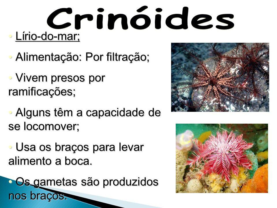 Crinóides Lírio-do-mar; Alimentação: Por filtração;