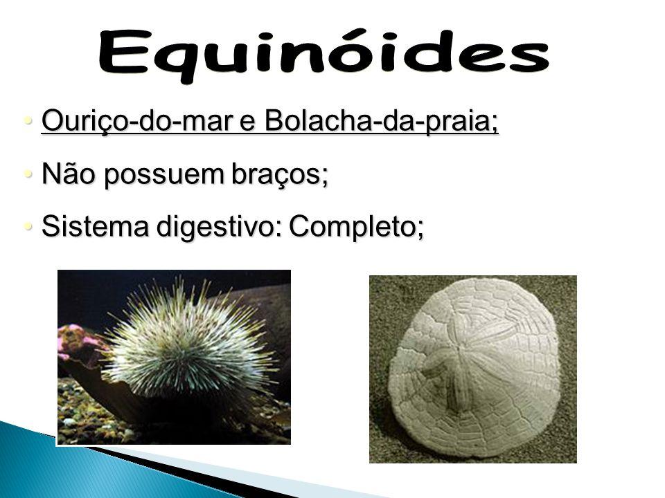 Equinóides Ouriço-do-mar e Bolacha-da-praia; Não possuem braços;