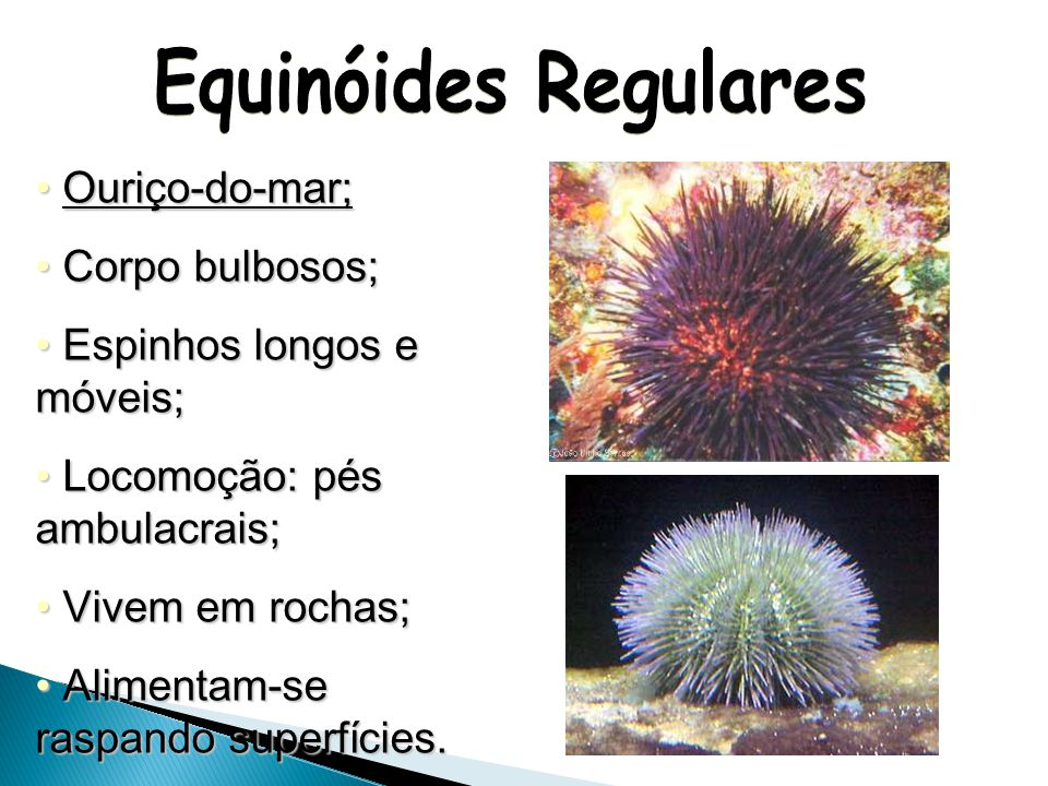 Equinóides Regulares Ouriço-do-mar; Corpo bulbosos;