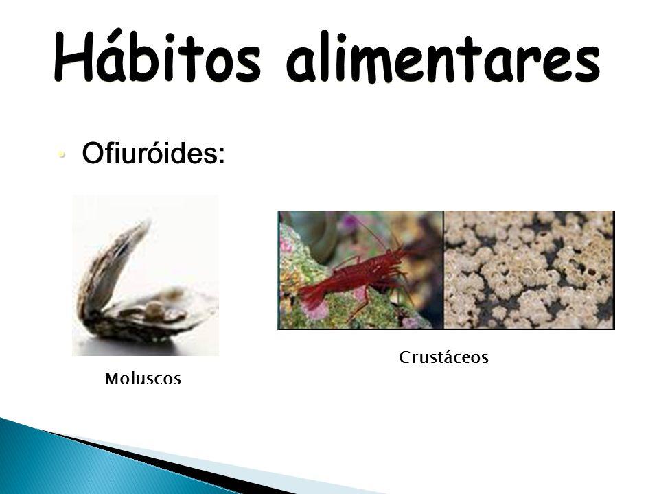 Hábitos alimentares Ofiuróides: Crustáceos Moluscos