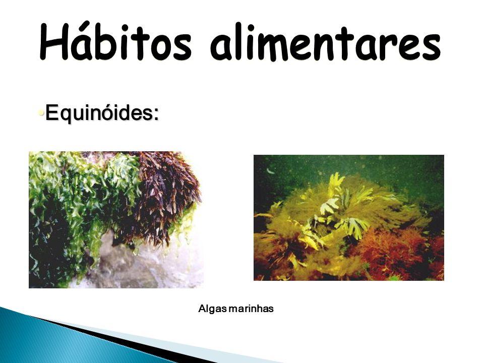 Hábitos alimentares Equinóides: Algas marinhas