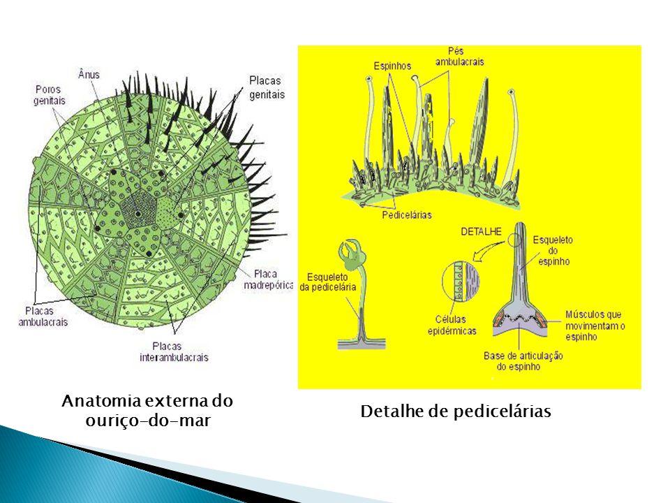 Anatomia externa do ouriço-do-mar Detalhe de pedicelárias