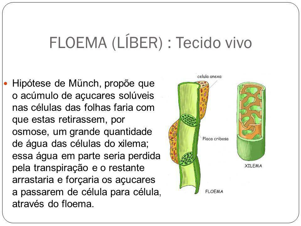 FLOEMA (LÍBER) : Tecido vivo