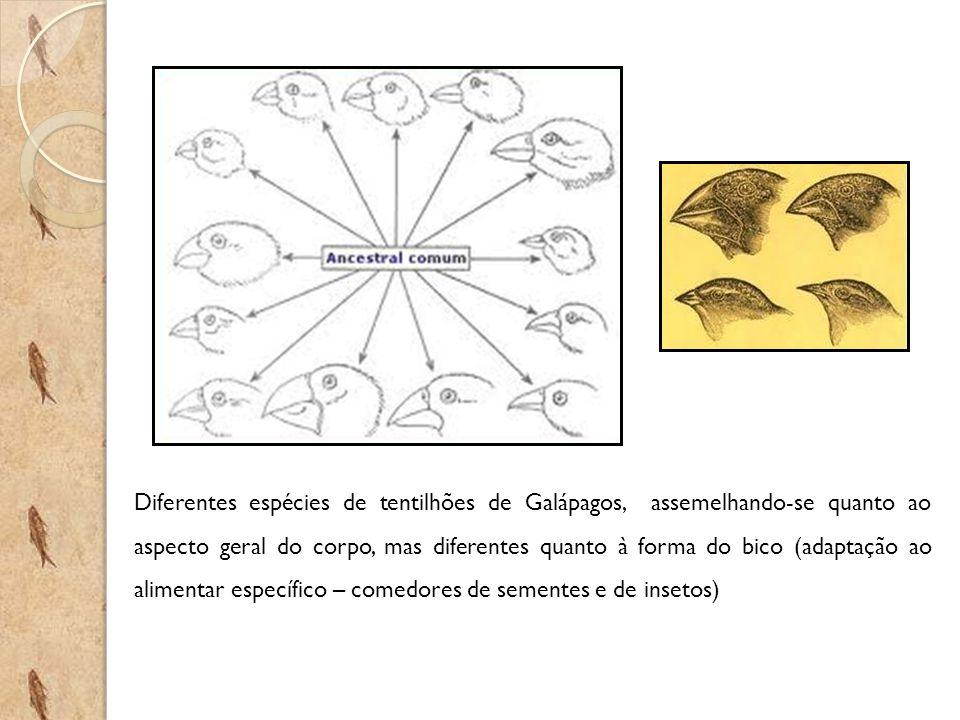 Diferentes espécies de tentilhões de Galápagos, assemelhando-se quanto ao aspecto geral do corpo, mas diferentes quanto à forma do bico (adaptação ao alimentar específico – comedores de sementes e de insetos)