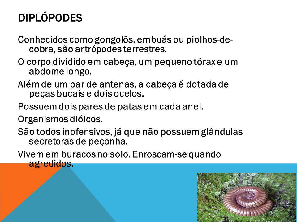 DIPLÓPODES Conhecidos como gongolôs, embuás ou piolhos-de- cobra, são artrópodes terrestres.
