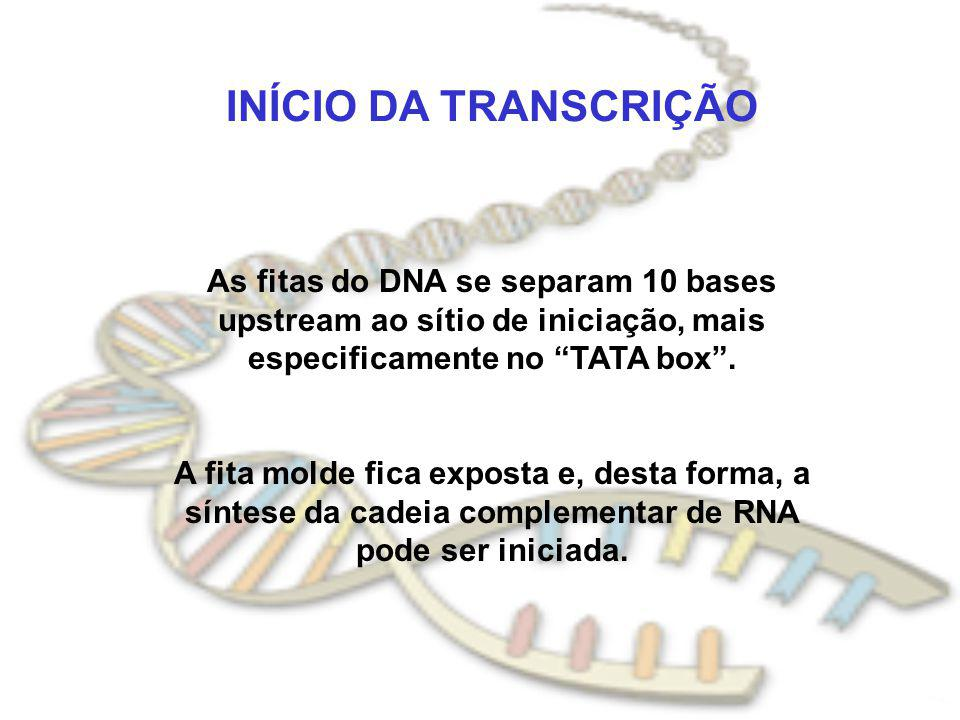 As fitas do DNA se separam 10 bases upstream ao sítio de iniciação, mais especificamente no TATA box .