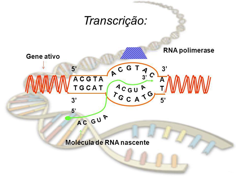 Transcrição: RNA polimerase Gene ativo 5' A C G T 3' A C G T A