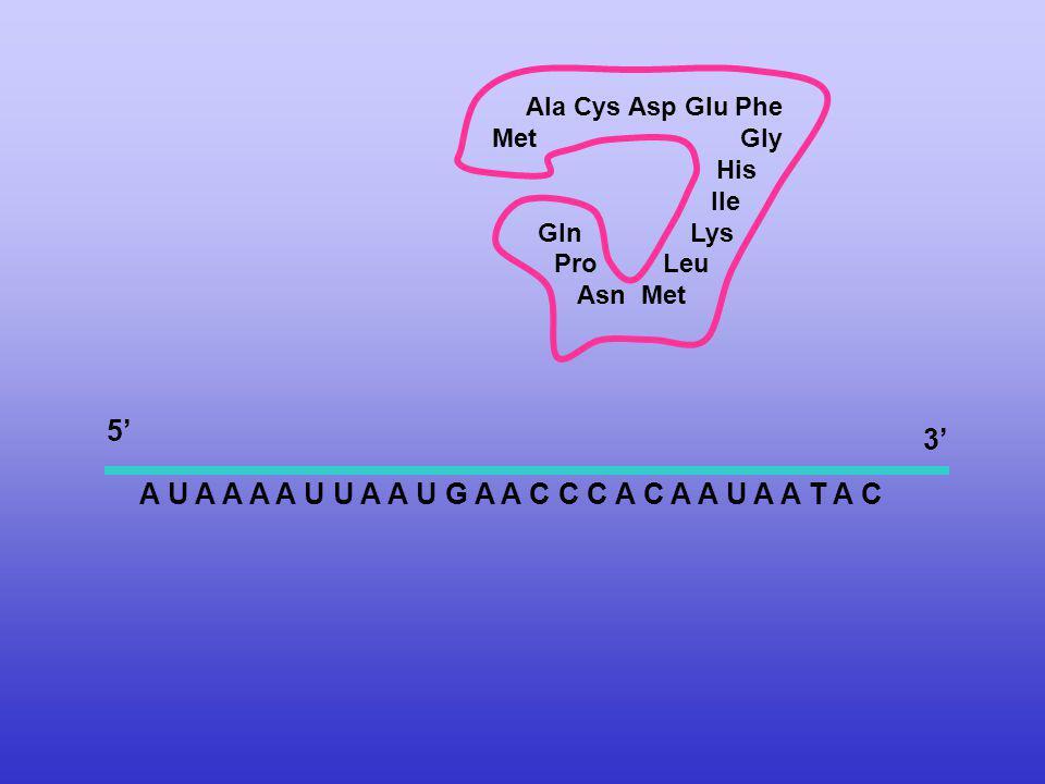 A U A A A A U U A A U G A A C C C A C A A U A A T A C