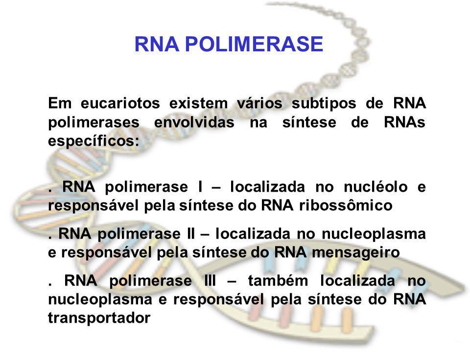 RNA POLIMERASE Em eucariotos existem vários subtipos de RNA polimerases envolvidas na síntese de RNAs específicos:
