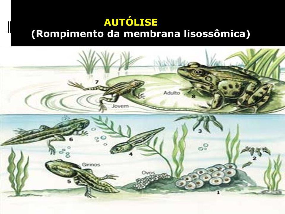 (Rompimento da membrana lisossômica)