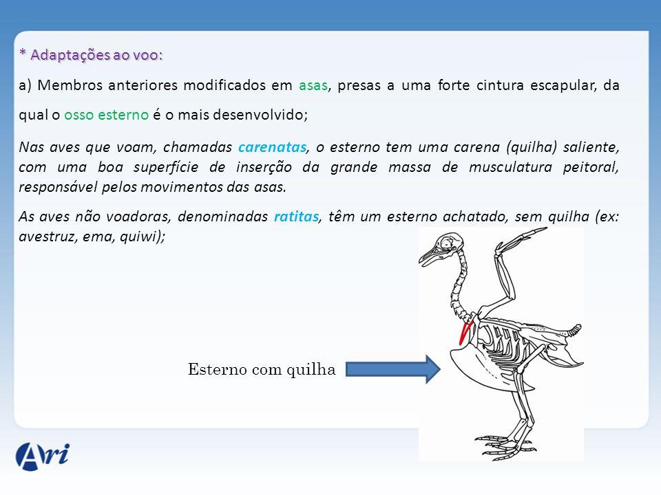 * Adaptações ao voo: a) Membros anteriores modificados em asas, presas a uma forte cintura escapular, da qual o osso esterno é o mais desenvolvido;
