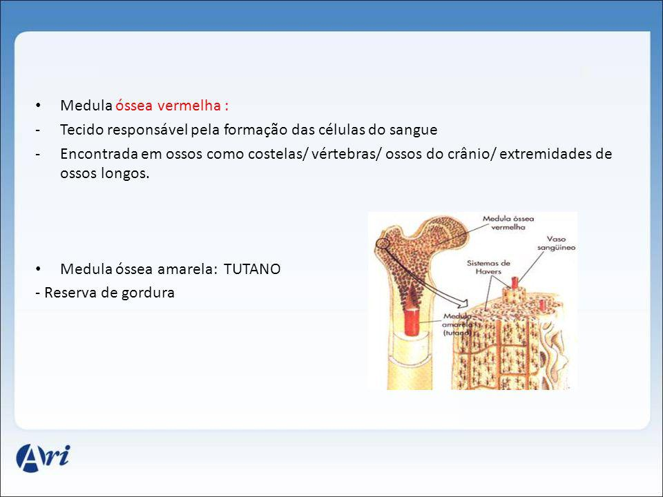 Medula óssea vermelha :